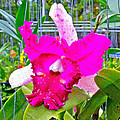 Pink Orchid At Maerim Orchid Farm In Chiang Mai-thailand by Ruth Hager