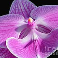 Pink Orchid by Cindy Manero