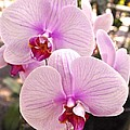 Pink Orchid Duo by Kristina Deane