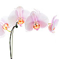 Pink Orchid Flowers by Stephanie McDowell