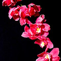 Pink Orchid by Guy Pettingell