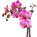 Pink Orchid by Judith  Flacke