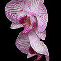 Pink Orchid by Karen Morang