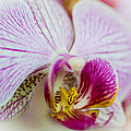 Pink Orchid by Mark Llewellyn
