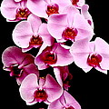 Pink Orchid by Menachem Ganon