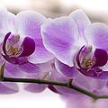 Pink Orchid  by Saija  Lehtonen