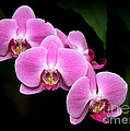 Pink Orchids In A Row by Sabrina L Ryan