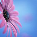 Pink Osteospermum Flower On Blue by Pearl Bucknall