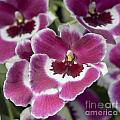 Pink Pansy Orchid by Terri Winkler