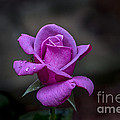 Pink Passion by Michael Waters