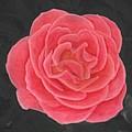 Pink Pastel Rose by Barbara St Jean