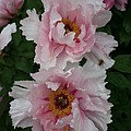 Wild Pink Peony  by Christiane Schulze Art And Photography