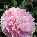 Pink Peony by Ann Horn