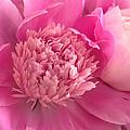 Pink Peony by Charlene Palmer