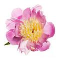 Pink Peony Flower by Elena Elisseeva