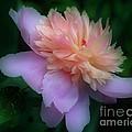 Pink Peony Flower by Smilin Eyes  Treasures