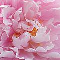 Pink Peony Flower Waving Petals  by Jennie Marie Schell