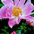 Pink Peony Garden  by Carol F Austin