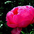 Pink Peony On The Side by Mark Holden