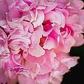 Pink Peony by Pati Photography