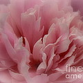 Pink Peony Petals by Laura Louise
