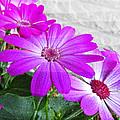 Pink Perciallis Ragwort Flower Art Prints by Valerie Garner