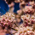 Pink Petal Profusion by Brian Xavier