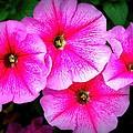 Pink Petunias by Amanda Stadther