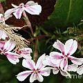 Pink Phlox by Cathy Lindsey