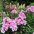 Pink Phlox by Elizabeth Dow
