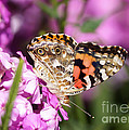 Pink Phlox With Butterfly by Lori Tordsen