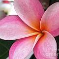 Pink Plumeria by Crystal Miller