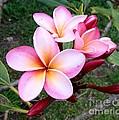 Pink Plumeria by Mindy Sue Werth