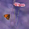 Pink Poppies by Jaroslaw Blaminsky