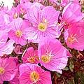 Pink Poppy by Brandon  Luke