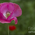 Pink Poppy. by Clare Bambers