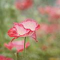 Pink Poppy by Kim Hojnacki