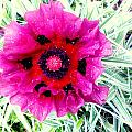 Pink Poppy by Lucy H Pearce