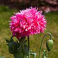Pink Poppy by Omaste Witkowski