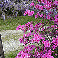 Pink Purple Mississippi Blooms by Cora Wandel