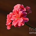 Pink by Ramona Matei