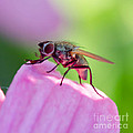 Pink Reflection On Flies Body. by Michael Moriarty