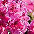Rhododendron Called Azalea Bright Pink Flowers  by Arletta Cwalina