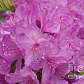 Pink Rhododendron by William Norton