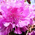 Pink Rhododendrons by Cynthia Woods