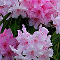 Pink Rhododendrons by Jeanette C Landstrom