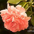 Pink Rose 2 by Howard Tenke