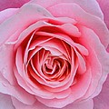 Pink Rose by Amanda Stadther