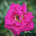 Pink Rose  by Andre Faubert