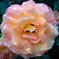 Pink Rose Bathed In Rain by Jo-Ann Hayden